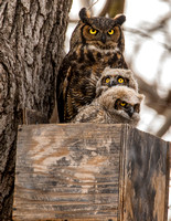 Great Horned Owls & Owlets  20-Mar-15